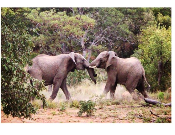Elephant fight 2
